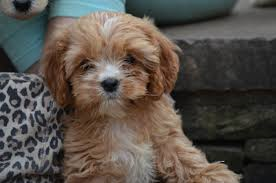 pawshake.co.uk Cavapoo puppies, Doodle puppy, Cavapoo