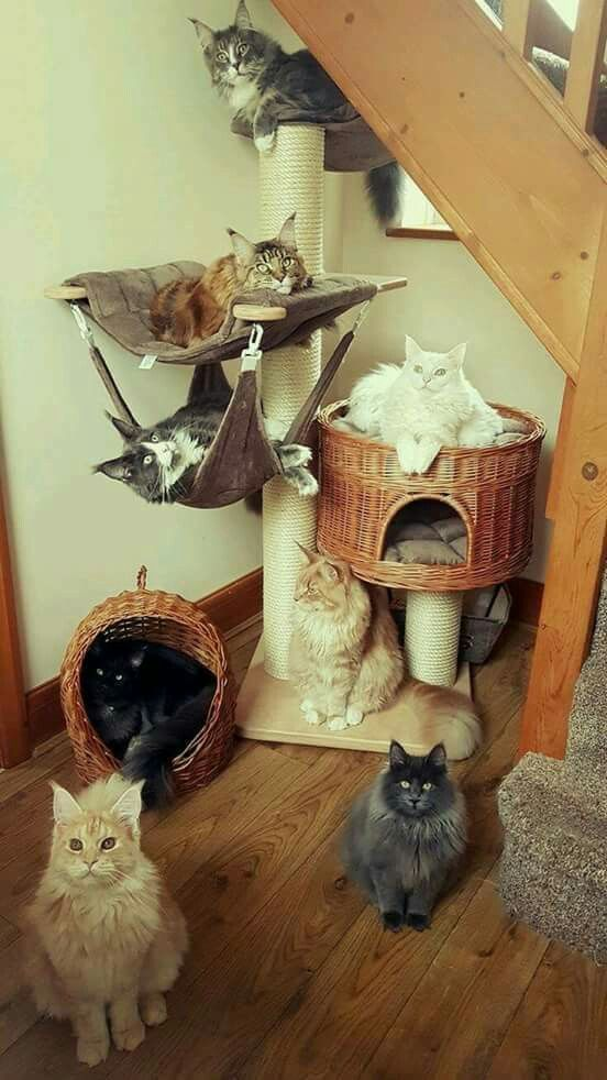 Pin By M Katherine Davis On Cat Furniture | Pinterest | Maine Coon, Cat And  Babies