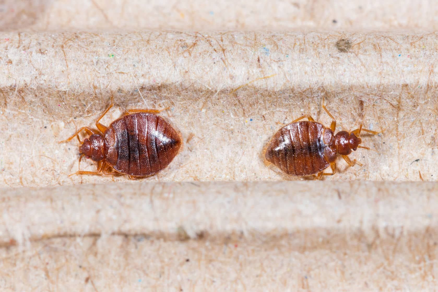 What Bed Bugs Look Like And Helpful Advice Bed Bug Control Bed Bugs