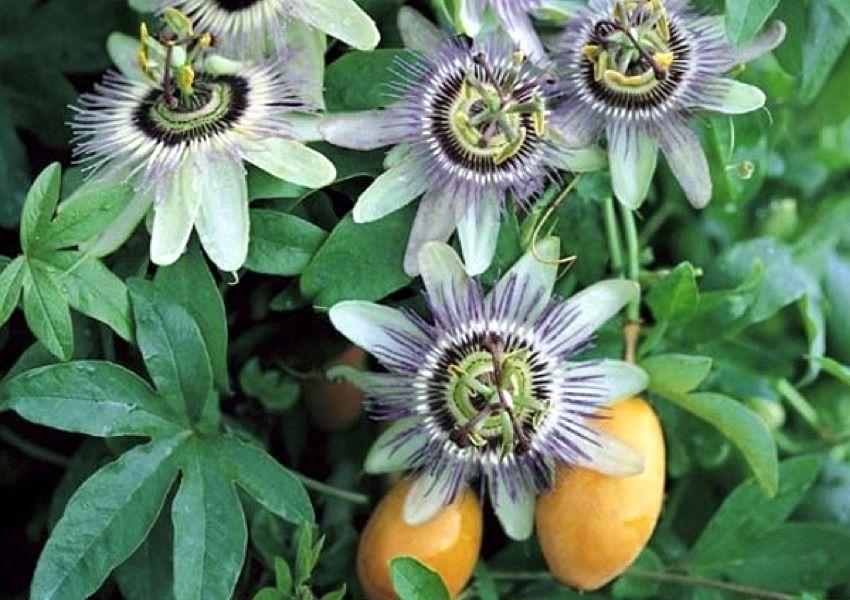 Passion Flower Seeds Passiflora Vines Flowering Vines Passion Flower Passiflora Caerulea