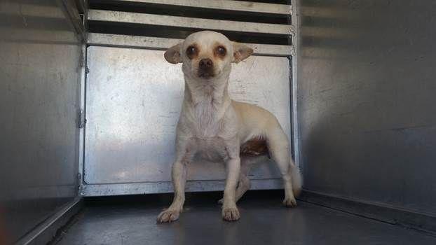 Chica 06022015f D02 Has Few Days Left To Live Pet Adoption