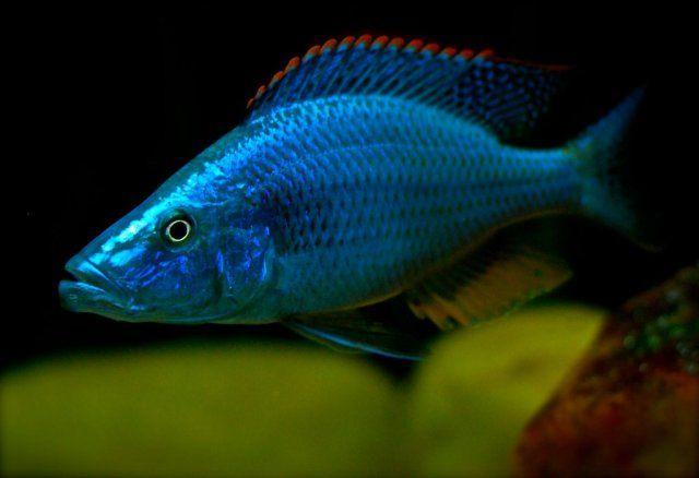 Malawi Eye biter (Dimidiochromis compressiceps)