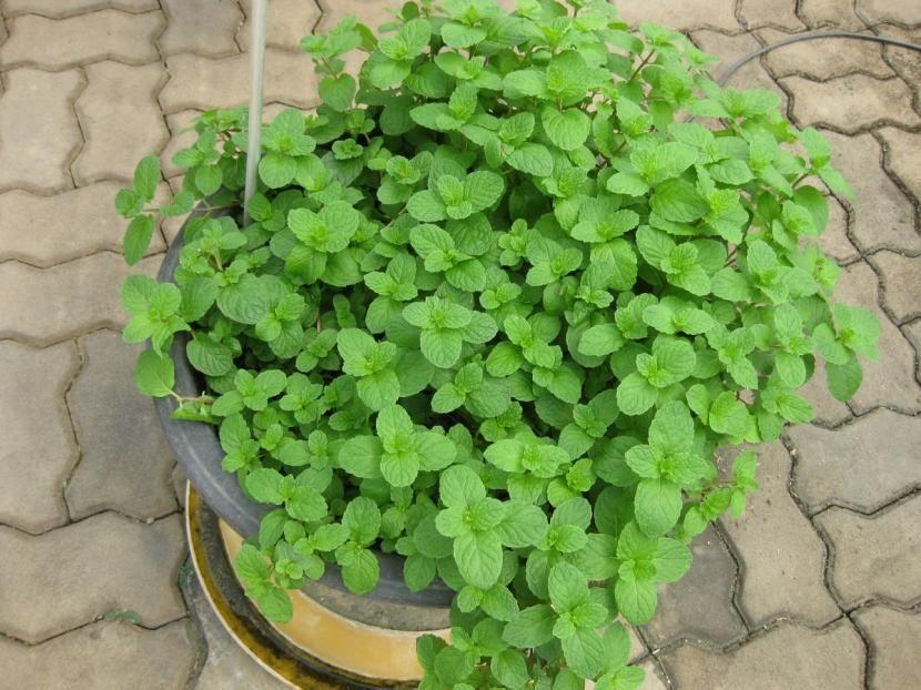 cuidados de la hierbabuena | plantas, jardinería y huerto