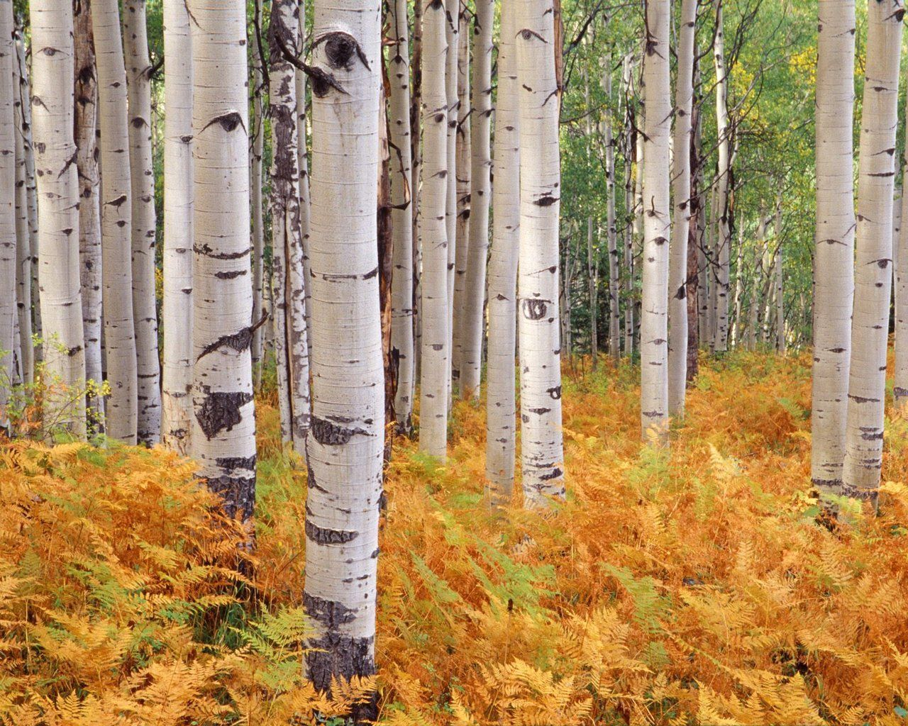 http://www.wallpaperswala.com/wp-content/gallery/birch-tree/birch-tree-wallpapers.jpg