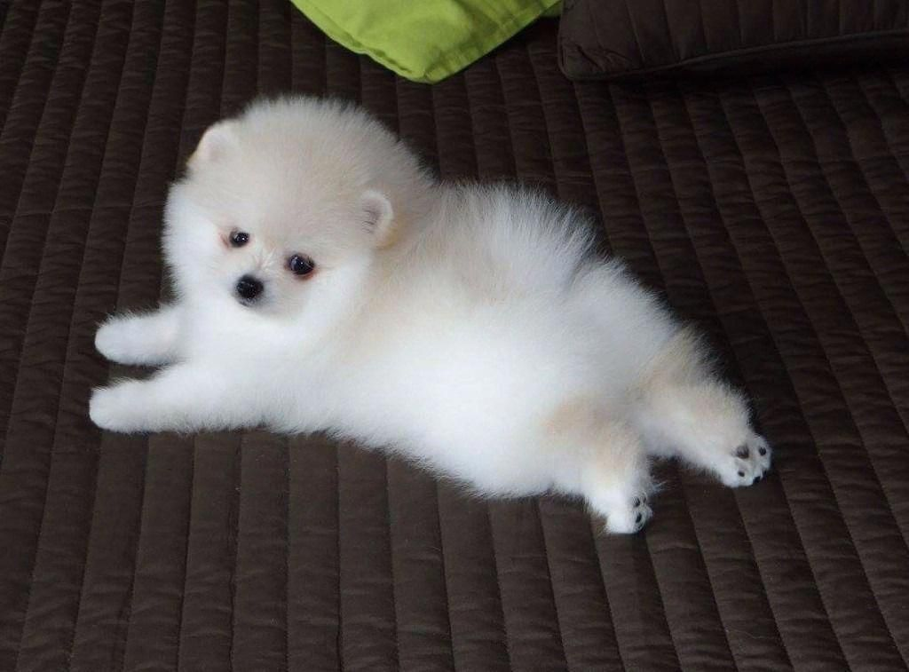 Pomeranian Tips Teacuppomeranianpuppy Some Of The Things I Adore About The Pom In 2020 White Pomeranian Puppies Pomeranian Puppy Cute Pomeranian