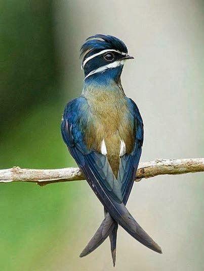 Pássaro Hemiprocne comata