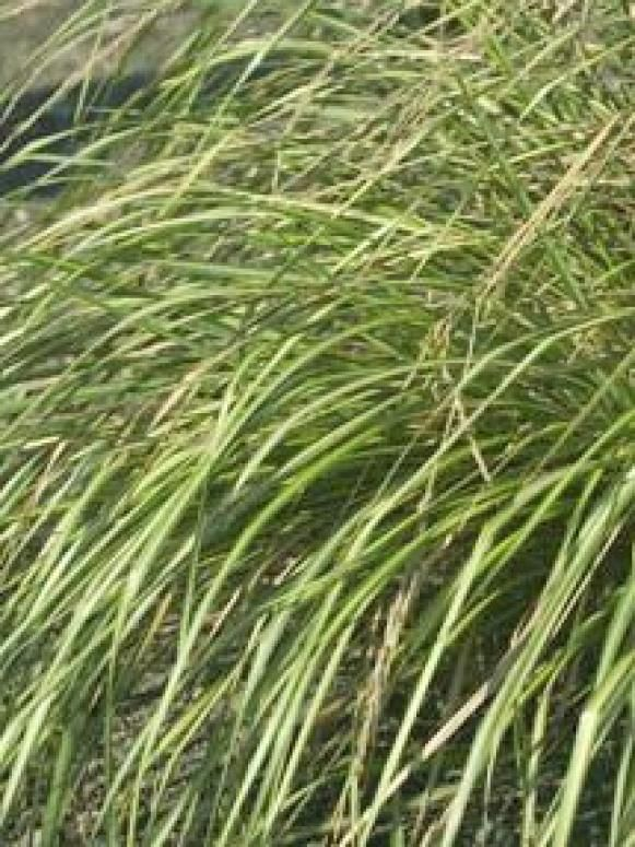 Types of ornamental grasses grasses and gardens types of ornamental grasses workwithnaturefo