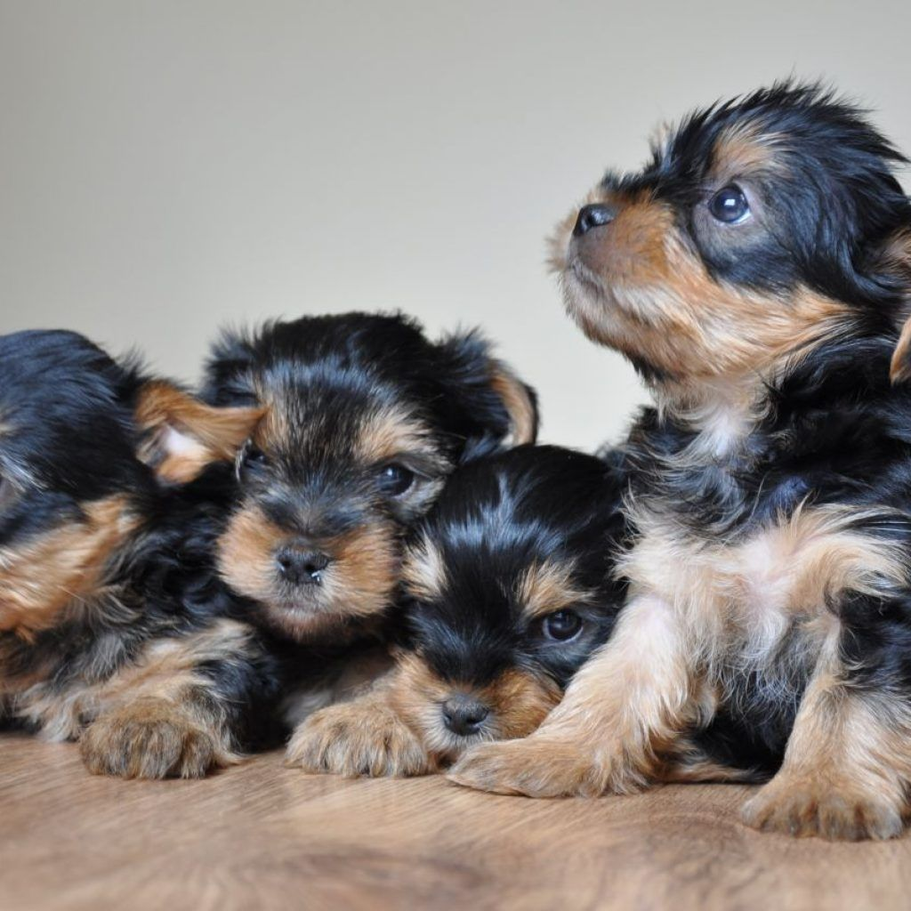 Yorkshire Terrier Puppies World Of Animal Yorkie Puppy Yorkie Puppy For Sale Yorkshire Puppies