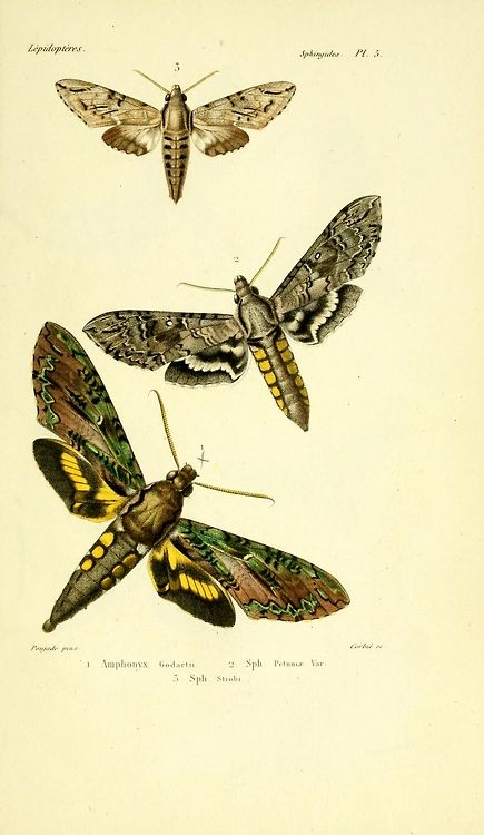 Natural History Of Insects General Species Of Lepidoptera By Boisduval Jean Alphonse 1801 1879 Guenee Achill Insekten Und Libellen