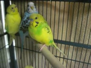 Adopt Mason On Animal Welfare League Budgies Cute Animals