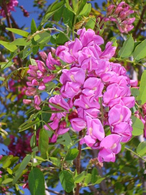Arizona purple robe locust tree bloom trees pinterest arizona purple robe locust tree bloom mightylinksfo