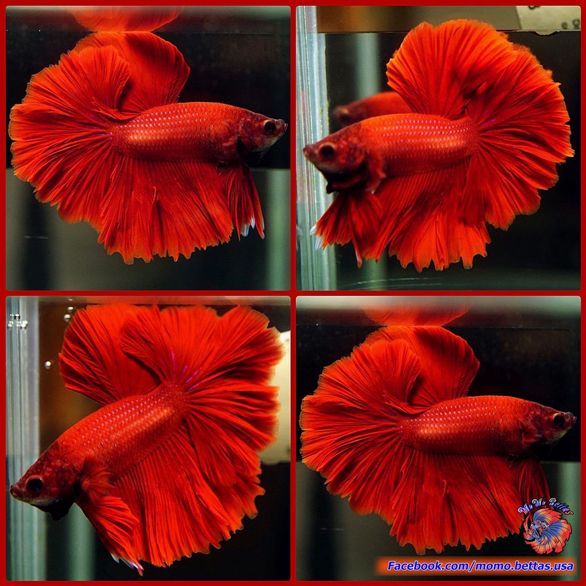 Live Betta Fish Male Solid Color Super Red Hawk Rosetail Halfmoon HM ...