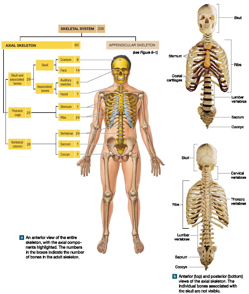 Großzügig Axialskelett Anatomie Galerie - Anatomie Von Menschlichen ...
