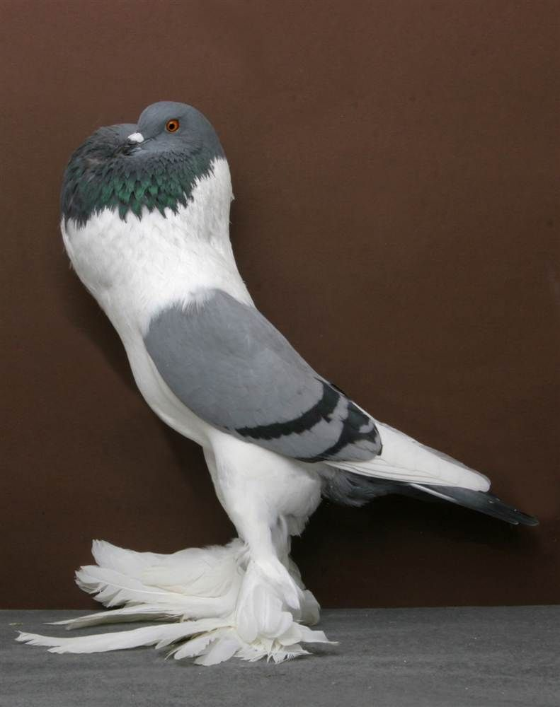 Pigeon - Bavarian Pouters