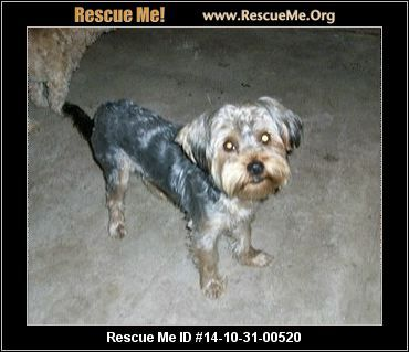 520meme Female Silky Terrier Mix Age Young Puppy Compatibility Good W Most Dogs Good W Most Cats Good W Kid Silky Terrier Terrier Rescue Terrier