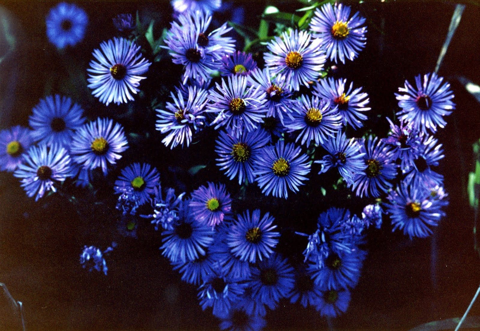Blue Aster Flower The Flower Of September September Pinterest