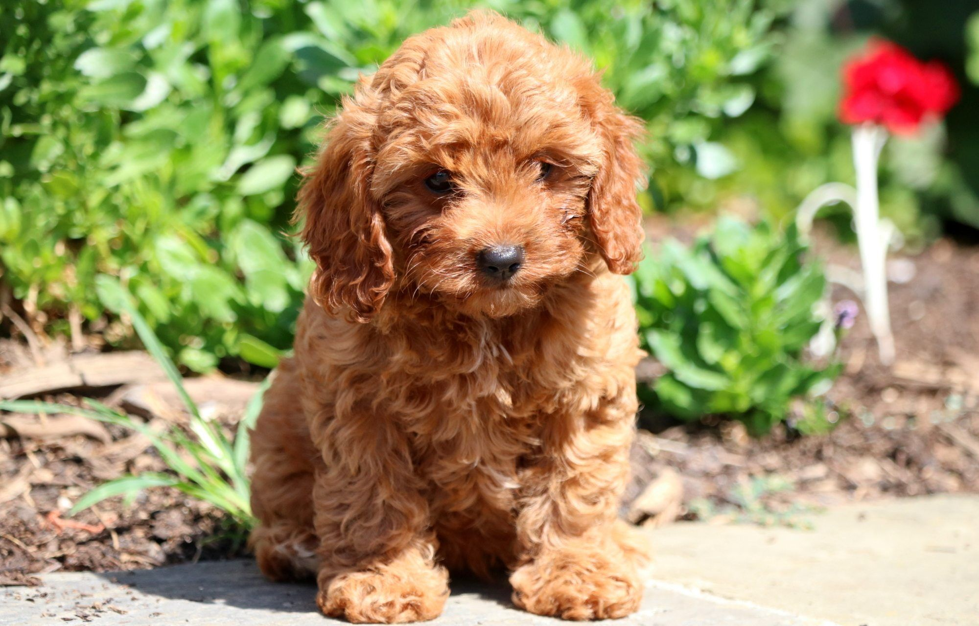 Cavapoo Puppies For Sale | Puppy Goals | Cavapoo puppies