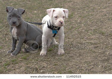 Pitbull Munchkins Pitbulls Crazy Dog Lady Bully Dog