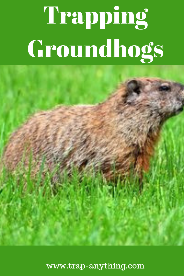 Trapping Groundhogs Pests Pest Control Flea Prevention