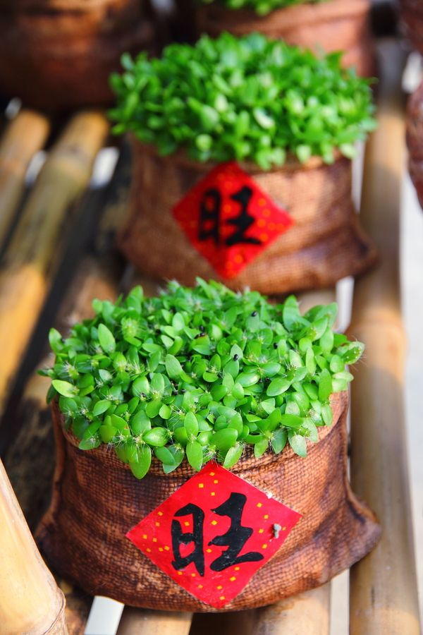 Houseplant (Chinese New Year Plant). There are no instructions for this, but it would…