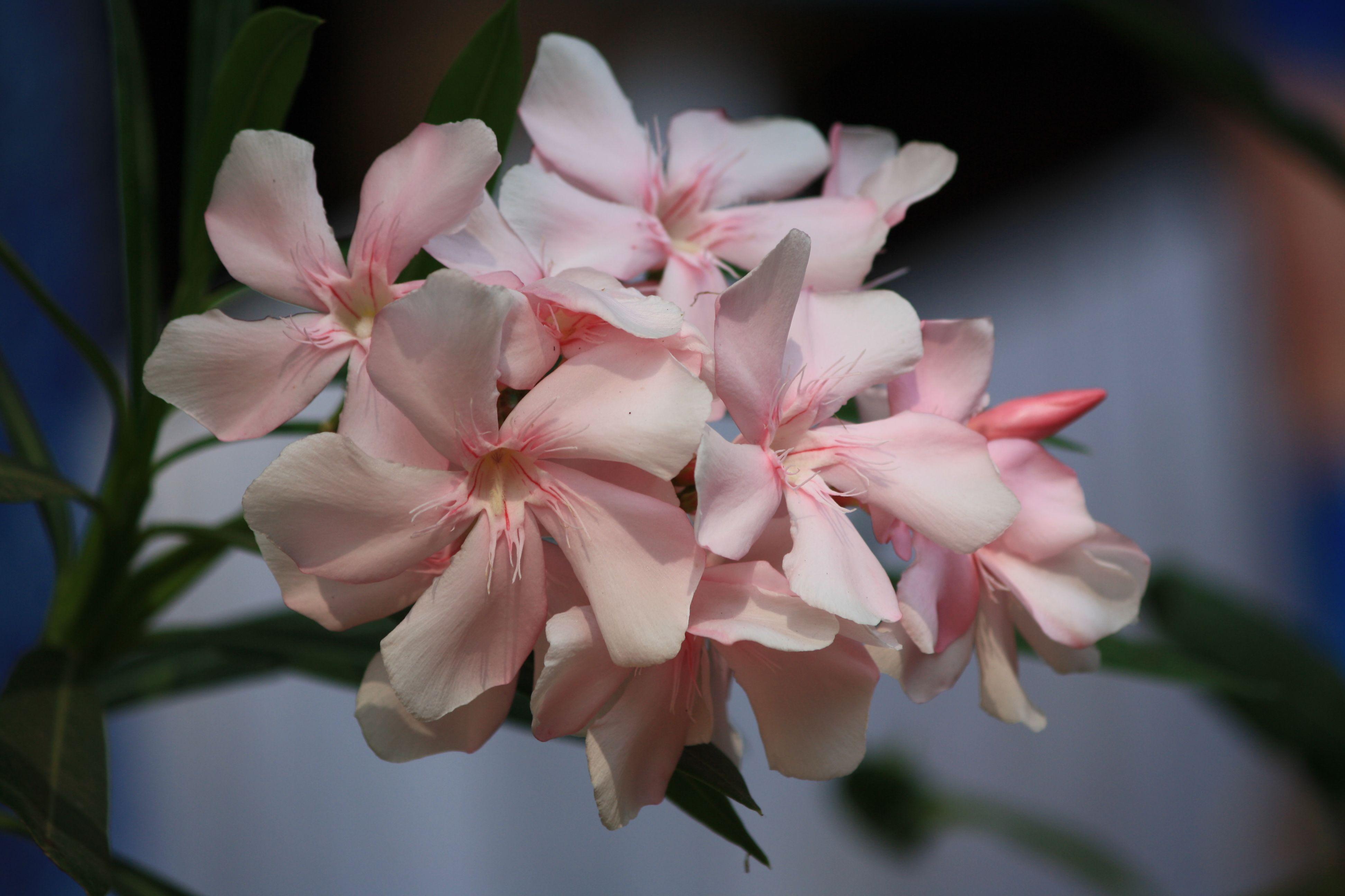 English : White Oleander