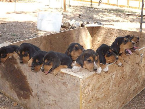 Seven Week Old Hound Pups Redding Ca Pets For Sale Pets Dogs