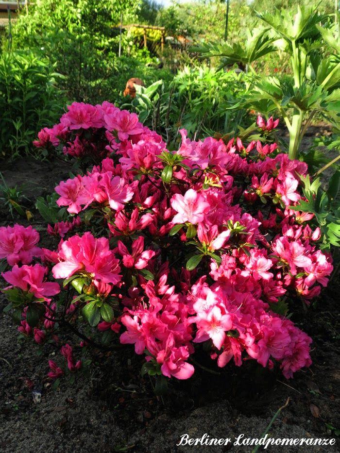 Maigarten: Azalee  The garden in May: Azalea