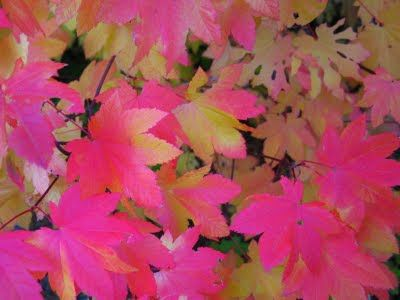 Pink Fall Leaves