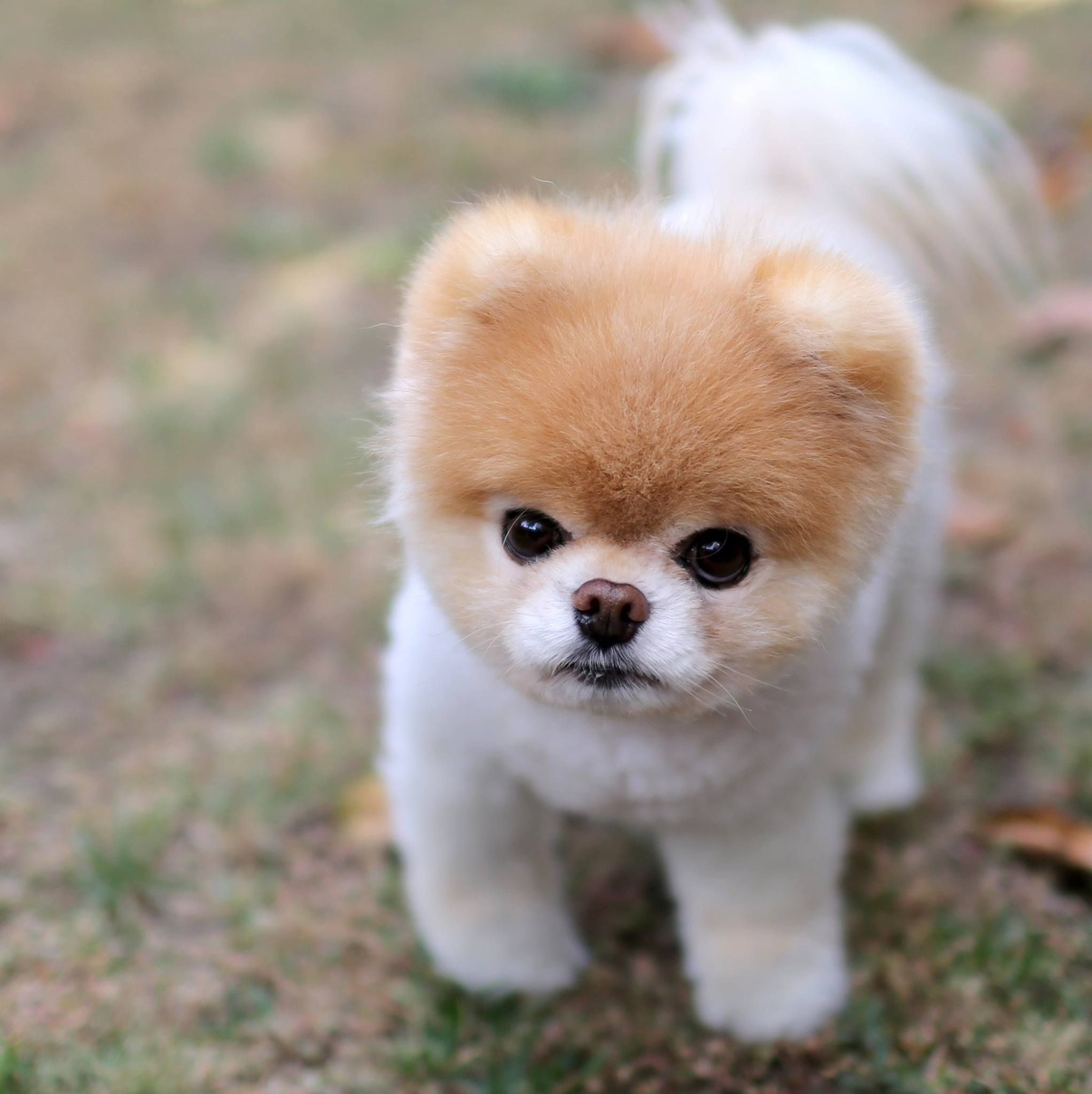 mad boo Boo the dog, World cutest dog, Puppies names female