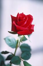 Red rose.jpg => wikipedia quote Rose