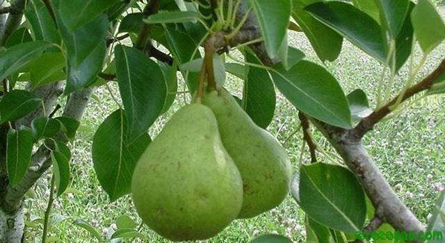 Como Plantar un arbol Frutal - Peral - Ecocosas