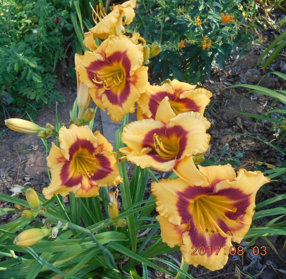 Daylily (Hemerocallis 'Fooled Me') in the Daylilies Database