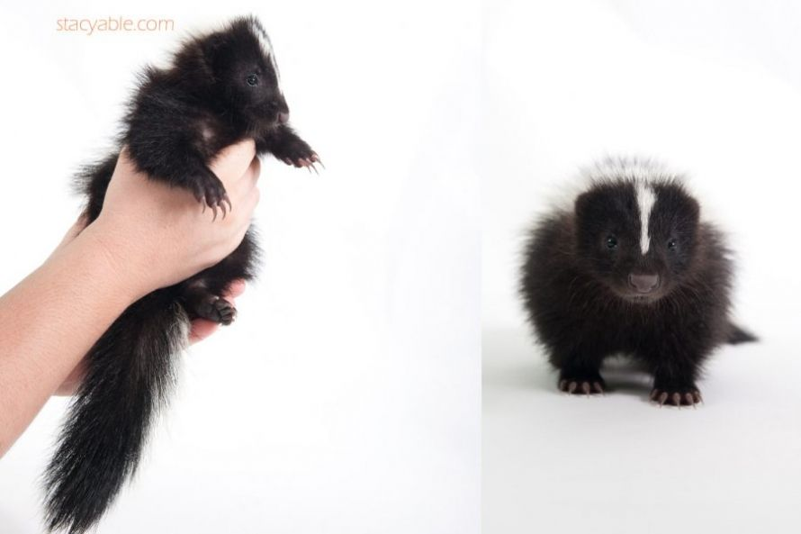 I would love a pet skunk! without it's stinker duh.  indianapolis-pet-skunk-photographer-stacy-able-photography4