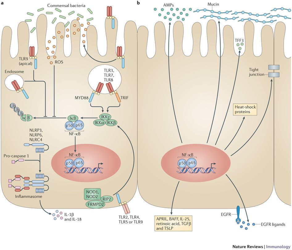 Pattern-recognition receptors (PRRs), including intestinal