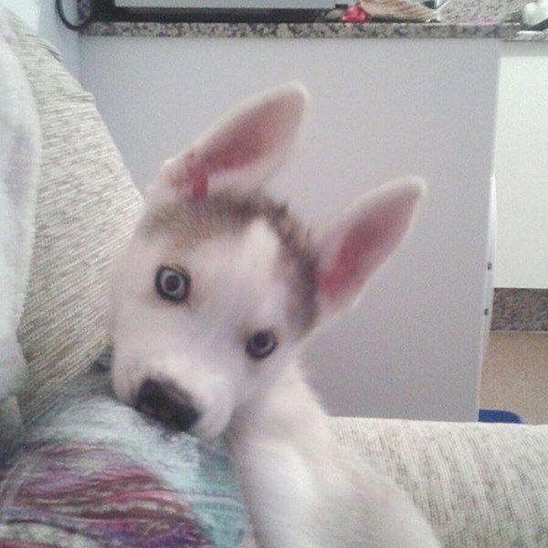 Training Siberian Siberian Husky Puppies Husky Puppies For Sale