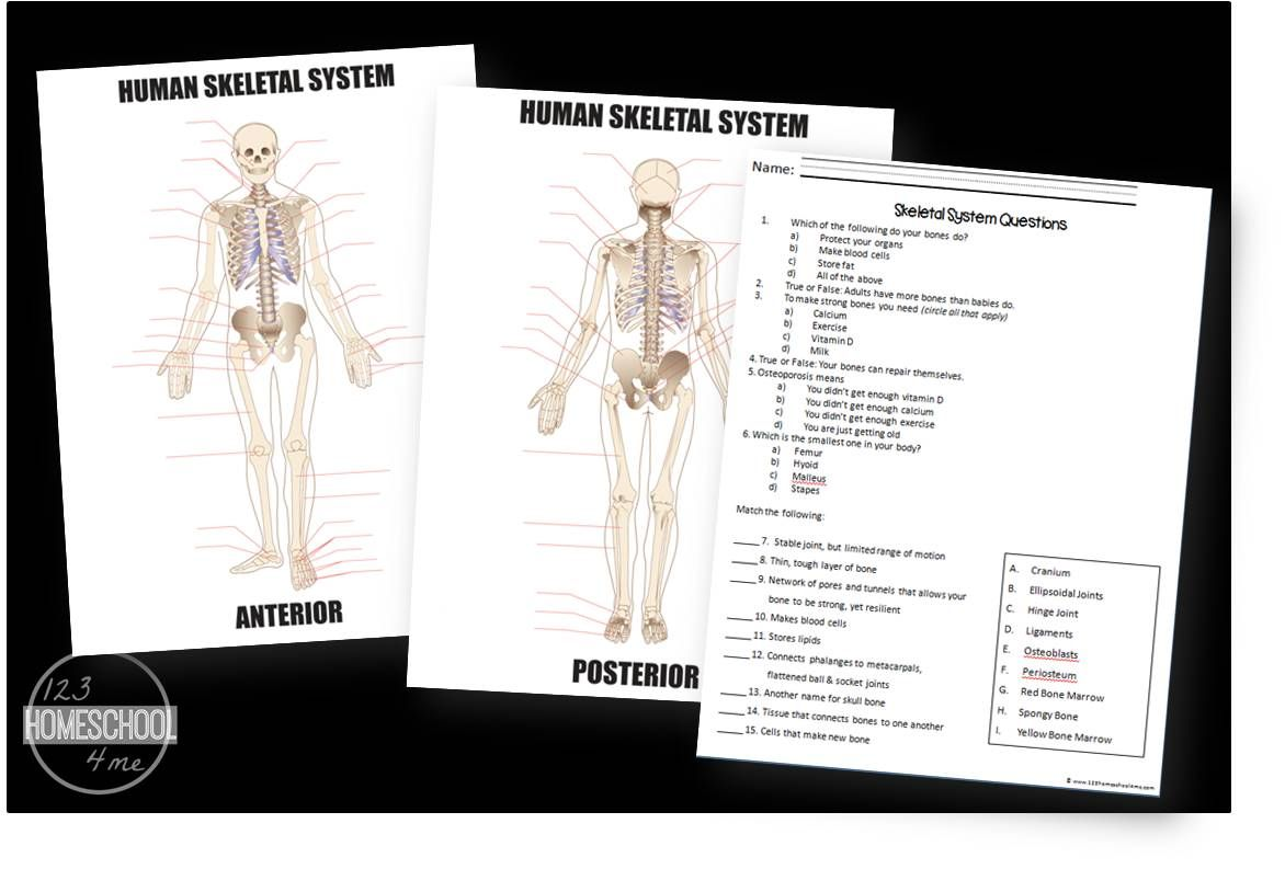 Free Skeletal System Worksheets Kids