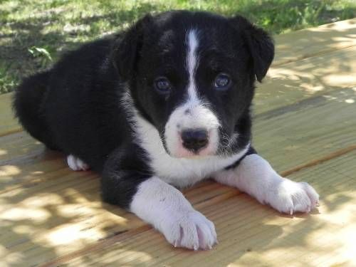 Mcnab Border Collie Cross Puppies For Sale For More Information