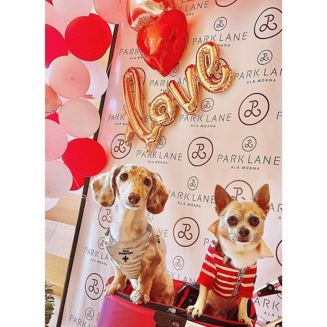 COUPLE 僕達付き合ってます #valentine #0214  #dog #doglife #dogaddict #doglove #doglife #chihuahua #c...