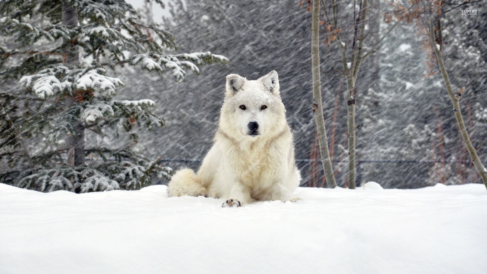White Wolf Wallpaper 1920—1200 White Wolves Wallpapers 43