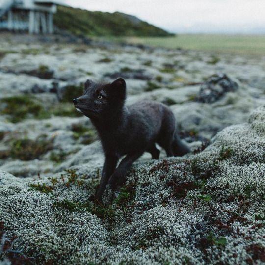 Arctic Fox by chriskerksieck - Christopher Kerksieck | Fox