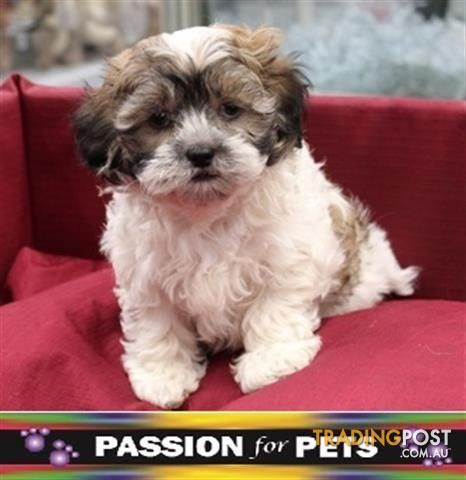 Xwx1 Maltese X Shihtzu Puppy Dog 943094320482548 For Sale In Carrum Downs Vic Xwx1 Maltese X Shihtzu Puppy Dog 9430943204 Dogs And Puppies Dogs