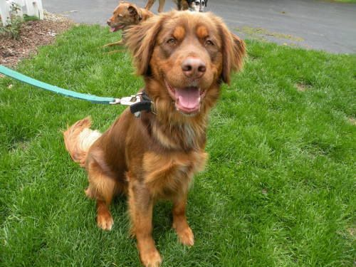 Golden Retriever Irish Setter Mix