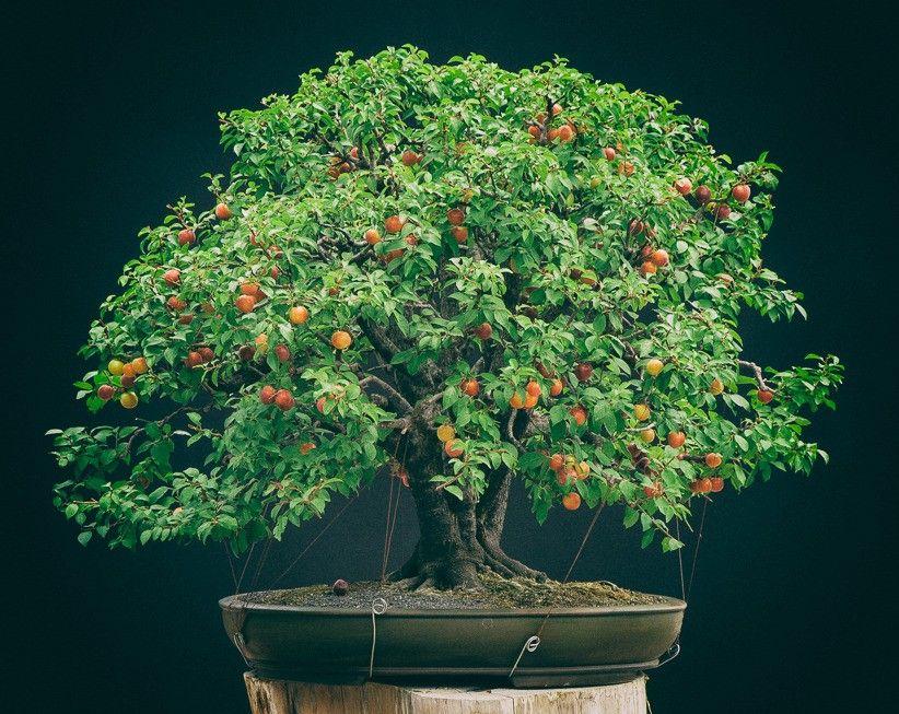 Wild Cherry Plum Prunus Cerasifera By Anima Bonsai Size 70cm Bonsai Buah Sayuran