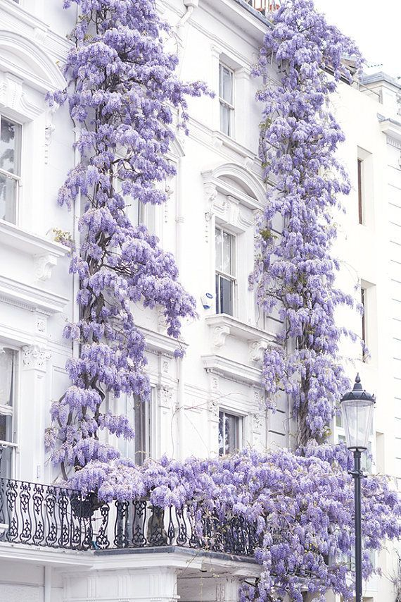 Photo of London Photography – Wisteria in Notting Hill, Spring in London, Purple Blossoms, England Travel Dec