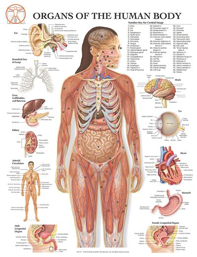 Human Anatomy Organs Back Internal Organs Systems Of A Human Body
