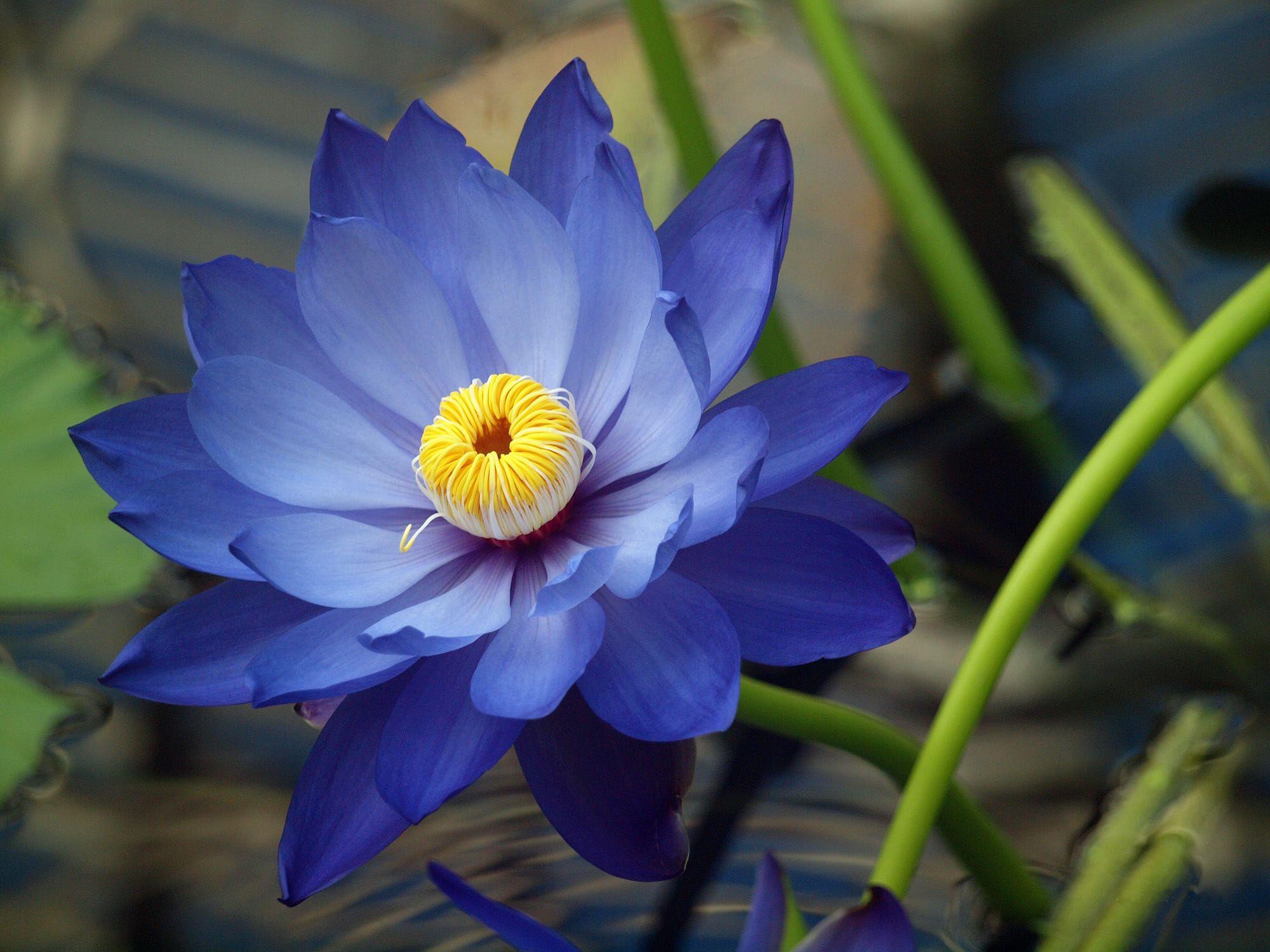 Blue lotus by kirk blue lotus flower flower