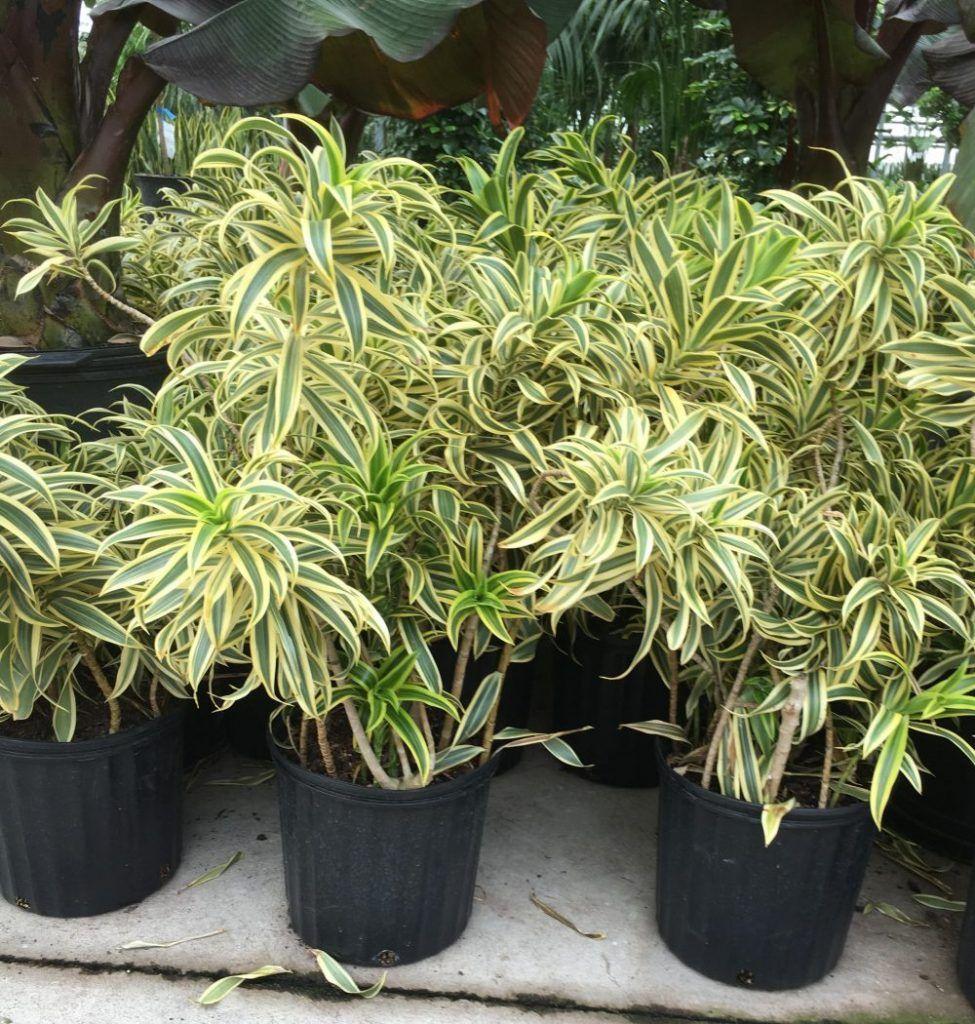 Song Of India Plant Dracaena Plants, Low maintenance