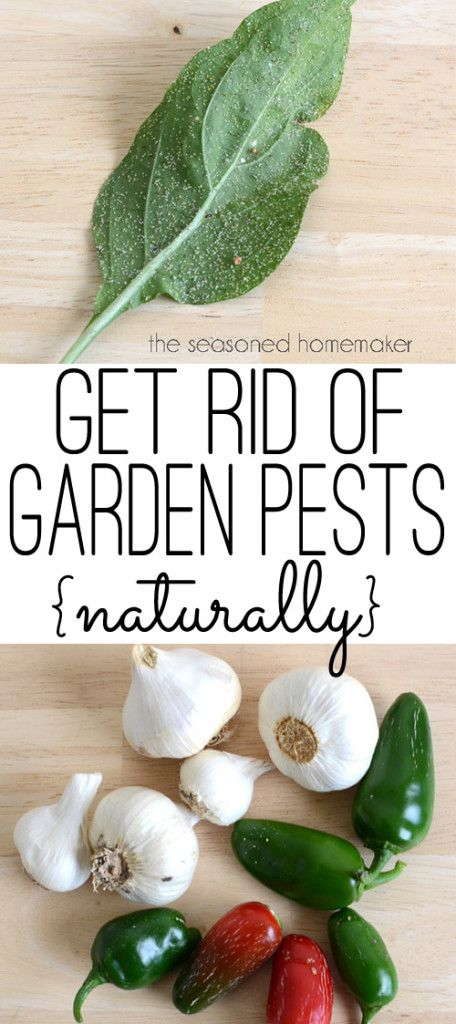 Are you looking for a natural and organic pesticide? As a gardener, I occasionally have run-ins with insects, especially aphids. When this happens, I have a safe and natural way to dispatch these devils. Garlic Pepper Tea. This simple recipe for Garli