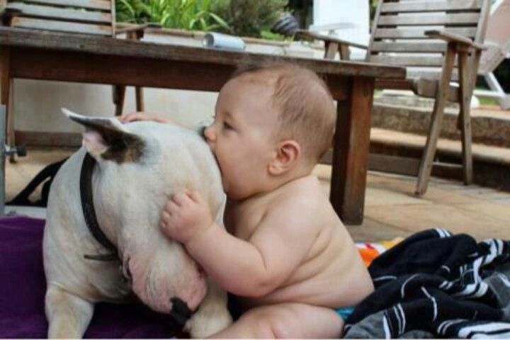 Let me nibble your ear. <3 An example of how forgiving bull terriers are
