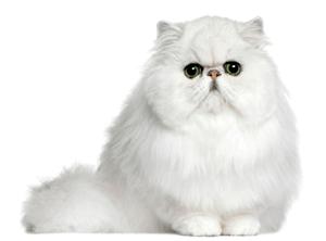 Gatos Características Razas Y Cuidados Mascotas Y Más Gatos Bonitos Gato Persa Gatos